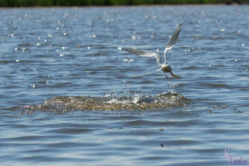 DSC_8088 tern catches breakfast_DxO