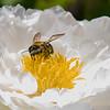 DSC_7707 pollenator
