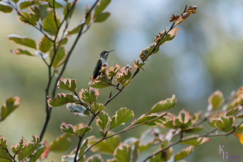 DSC_7979 the hummingbirds of Clove Lake_DxO