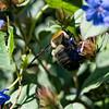 DSC_5793 bumblebee