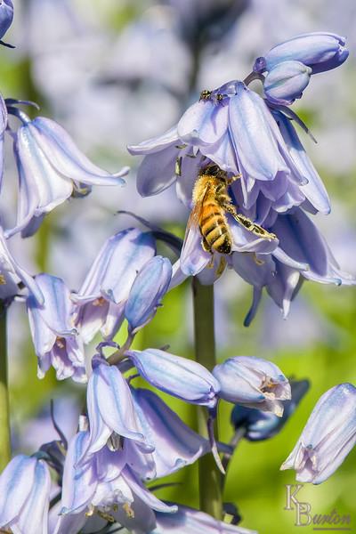 DSC_1771 honey bee foraging