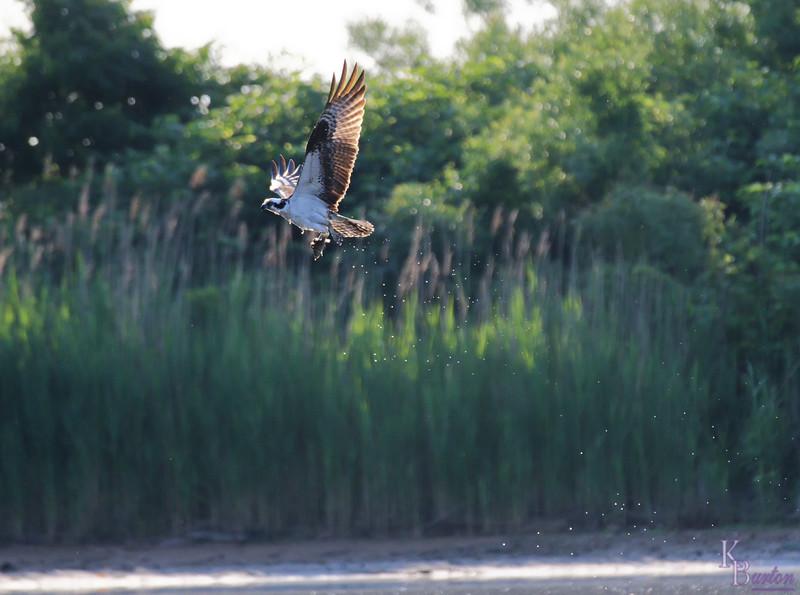DSC_0355 osprey's on the hunt_DxO