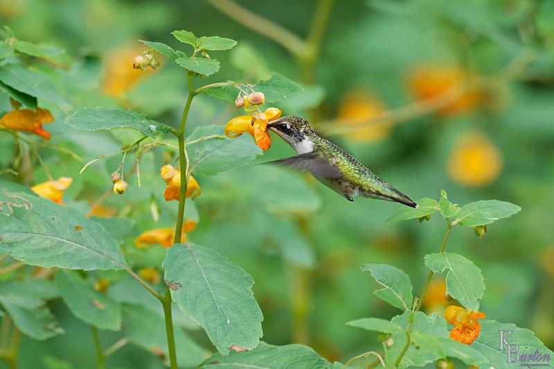 DSC_8390 the hummingbirds of Clove Lakes_DxO