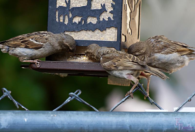 DSC_9133 sparrows_DxO