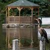 DSC_6503 cormorant