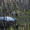 DSC_6535 swan's nest