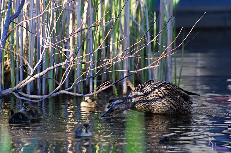DSC_9720 the ducks of BPC