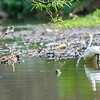 DSC_0563 great white egret