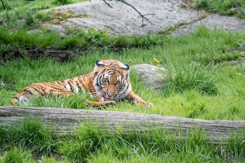 DSC_3354 tiger