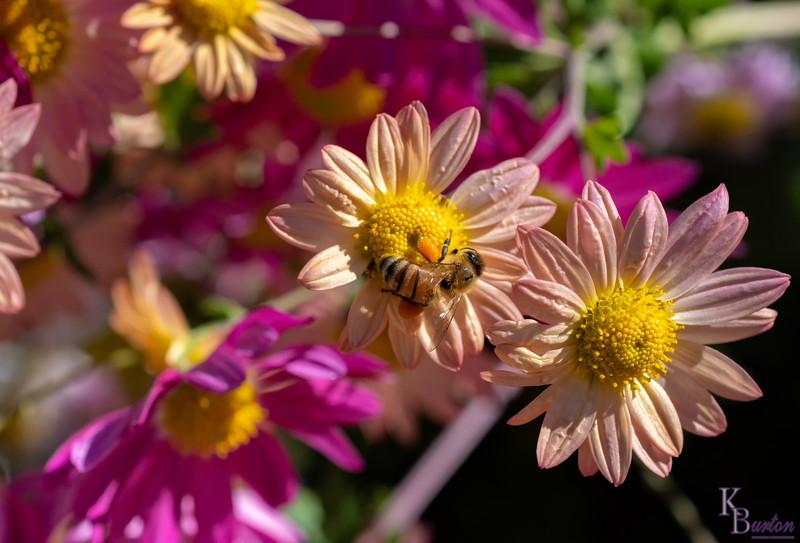 DSC_2959 honeybee