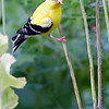 DSC_8099 goldfinch_DxO