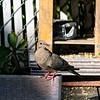 DSC_3791 morning dove