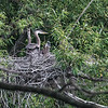 Two weeks ago I came across this heron's nest, that regulars to the park tell me has been here for four seasons now. Today I came back with the express purpose to get more shots of the nest, and the babies therein.