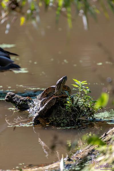 DSC_2735 painted turtle