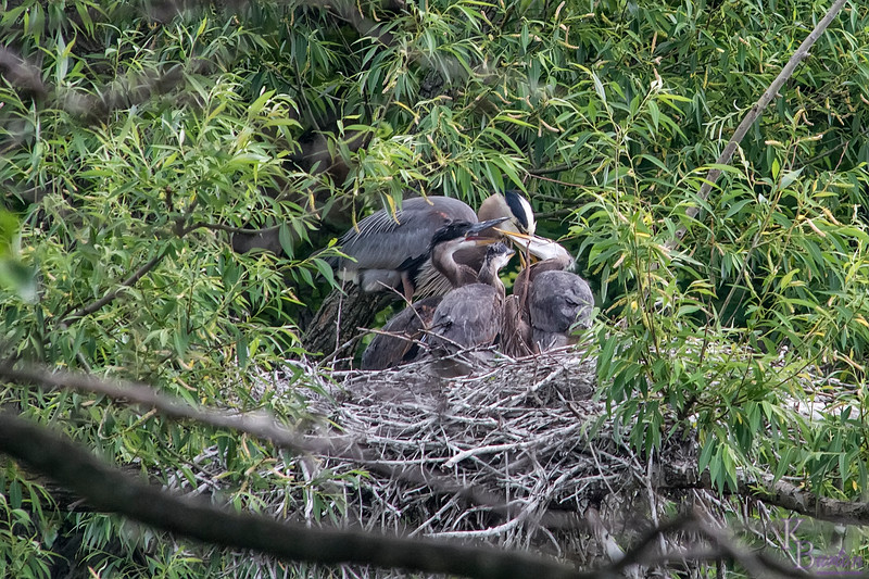 My first time capturing pictures of the nest a few weeks ago, I never managed to get a clear picture of the chicks. Today not only did a get lots of clear shots , I even captured several shots of the parents feeding them.