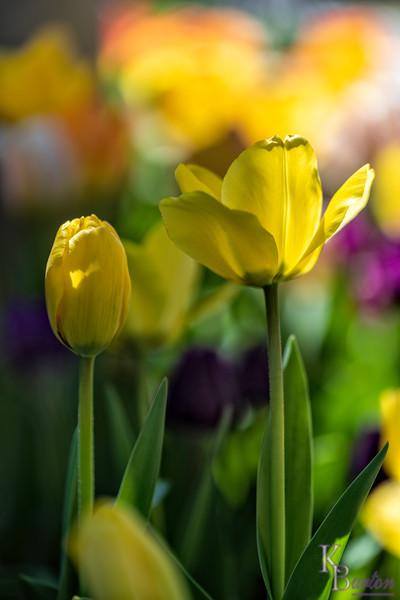 DSC_2593 tulips