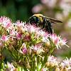 DSC_7020 bumble bee