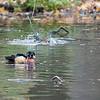 DSC_8331 wood duck