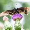 DSC_8834 swallowtail