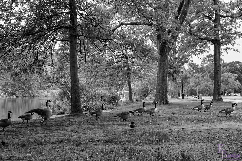 Two weeks ago I came across a blue heron's nest and got a lot of nice shots of the parents and chicks. This time I came back on another free day off with the express purpose of capturing that nest. But that wasn't going to stop me from taking out my camera to capture some images along the way. Here as I entered the park after getting off the bus, I ran into a group of geese as they decided in mass to get up out of the water and spend some time on terraferma.