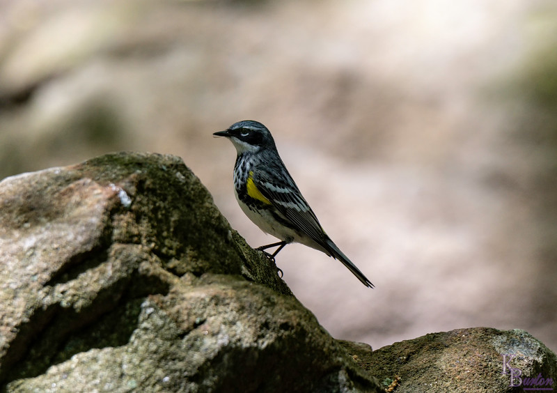 DSC_4798 yellow rumped warbler