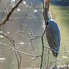 DSC_6255 great blue heron at Clove lake