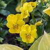 DSC_5263 yellow pansies