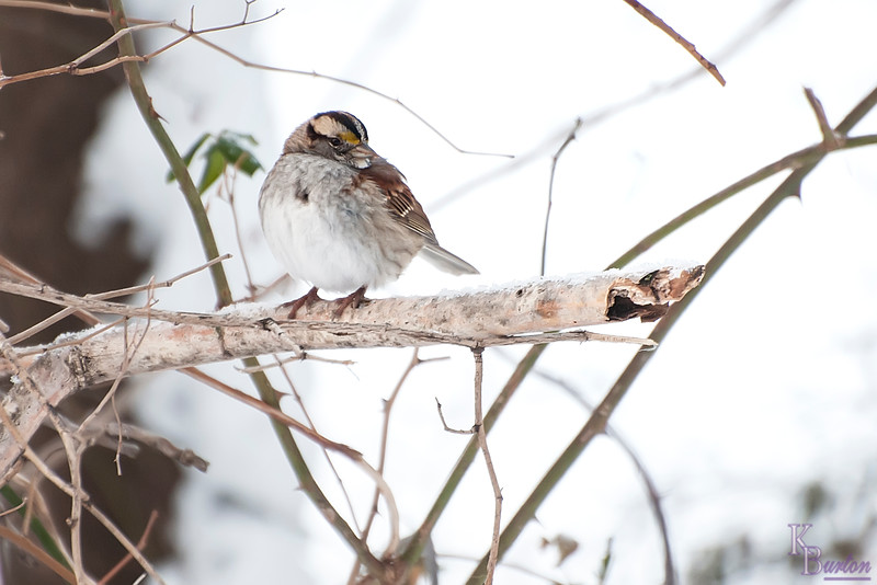 DSC_0042 white throated sparrow