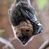 DSC_0752 fruit bat