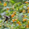 DSC_1367 hummingbird