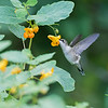 DSC_8470 the hummingbirds of Clove Lakes_DxO