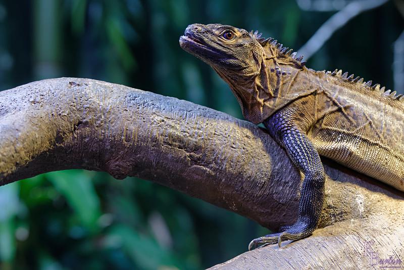 DSC_0749_sailfin lizard_DxO