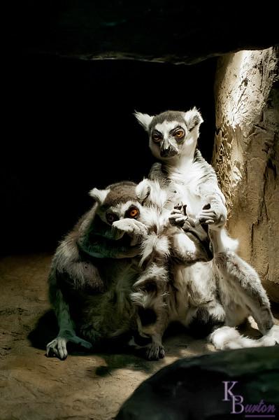 DSC_1246 ring tailed lemur