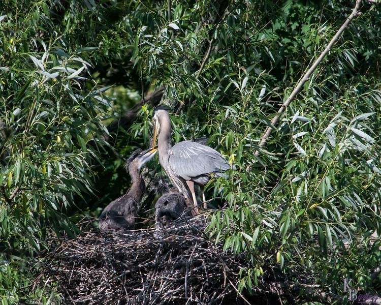 DSC_7197 heron's nest