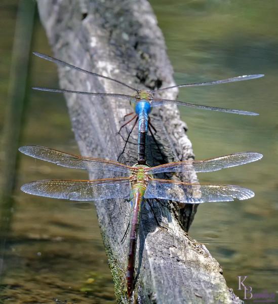 DSC_9788 mating dragonflies_DxO