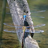 DSC_9788 mating dragonflies_DxO