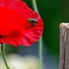 DSC_2281 foraging for nectar