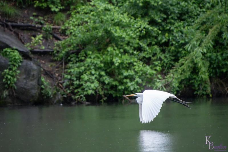 DSC_9353 great white takes flight