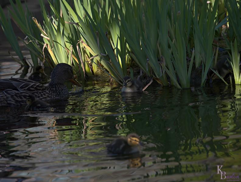 DSC_9446 the ducks of BPC