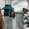 DSC_7490 downey woodpecker