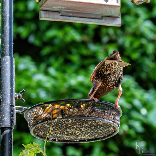 DSC_4337 backyard bird feeder