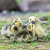 DSC_4001 goslings