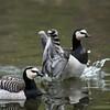 DSC_3282 barnacle geese