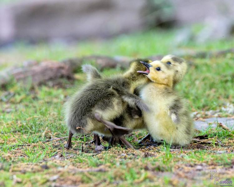 DSC_4016 goslings