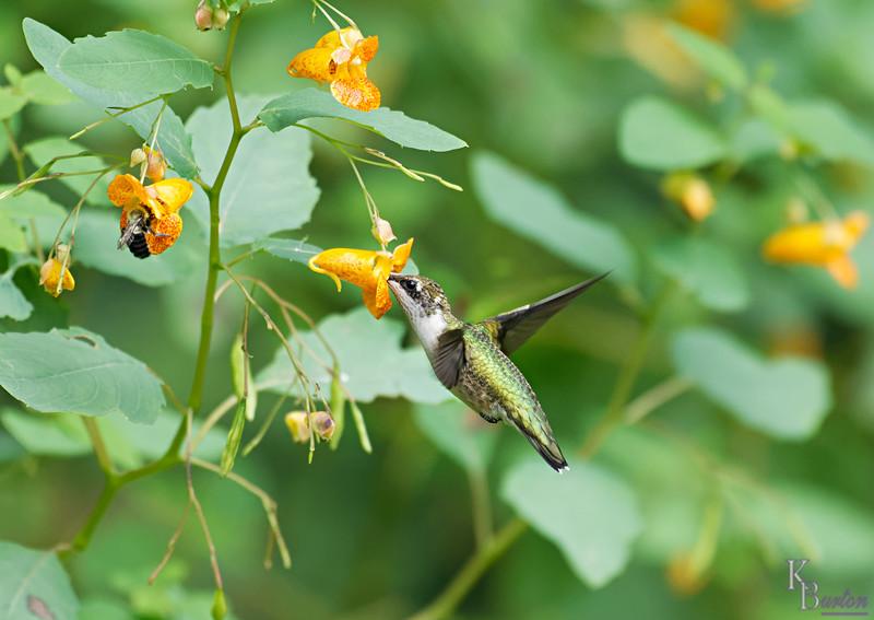 DSC_8334 the hummingbirds of Clove Lakes_DxO
