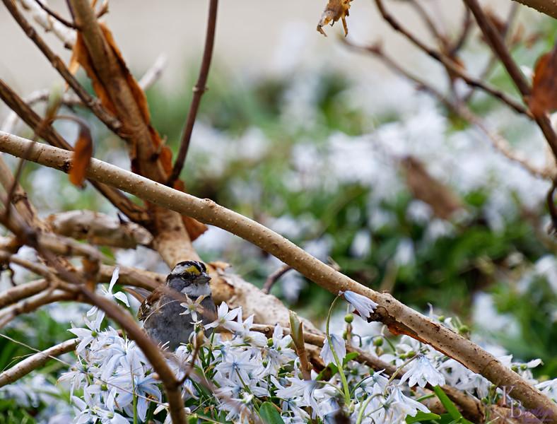 DSC_5736 white throated sparrow_DxO