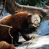 DSC_0498 red panda