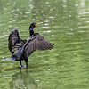DSC_1427 cormorant