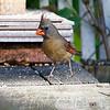 DSC_6392 female cardinal_DxO
