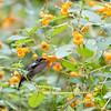 DSC_1373 hummingbird